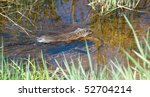 A Wild Muskrat Swimming In A...