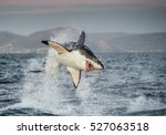 Great white shark  carcharodon...