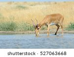 Wild Male Saiga Antelope  Saig...