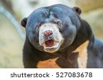 Malayan Sun Bear Is The...