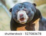 Malayan Sun Bear Is The...