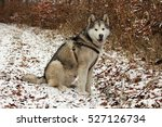 alaskan malamute in nature | Shutterstock . vector #527126734