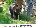 an hungry big brown bear in the ... | Shutterstock . vector #527173774