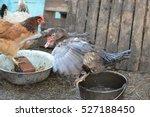 Musky Duck Bathes In A Bucket...