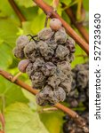 noble rot of a wine grape ... | Shutterstock . vector #527233630