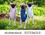 Stock photo funny pug puppies weigh in a clothesline funny pug puppies weigh in a clothesline 527236213