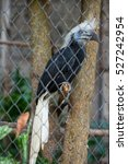 Small photo of Hornbill, White-crowned Hornbill ( Aceros comatus),bird of Thailand,animal, wildlife,zoo.