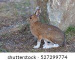 Small photo of Snowshoe hare (Lepus americanus) in Spring