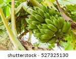 Banana Tree With A Bunch Of...
