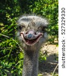 Portrait Of A Funny Ostrich...