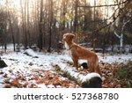 Red Dog Breed Nova Scotia Duck...