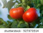 Ripe Natural Tomatoes Growing...