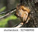 Fox Squirrel Eating A Pine Cone
