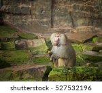 Hamadryas Baboon Eating A Fres...