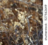Dried Seed Pods Of Wildflowers...