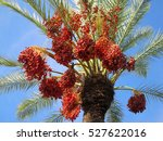 Date Palm With Fruits           ...