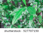 Small photo of This poisonous and tropical jungle greenery is a leaf that you'll want to stay away from when in the outdoors. Many people plant this dangerous tree accidentally without knowing the risk of rash.