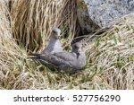 northern fulmar  fulmarus... | Shutterstock . vector #527756290