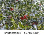 Holly Berries On A Holly Bush.