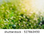 young seedlings growing on a... | Shutterstock . vector #527863450