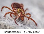 close up of a dog tick on a... | Shutterstock . vector #527871250