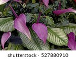 calathea spp and anthurium in... | Shutterstock . vector #527880910