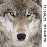 Small photo of Timber wolf portrait. A close-up photo of a menacing wolf with a yellow eyes