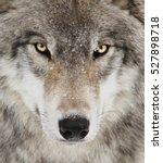 Timber Wolf Portrait. A Close...