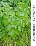 Small photo of This is the wild plant Aegopodium podagraria, the Ground elder or Goutweed, from the family Apiaceae