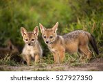 Stock photo two adorable newborn jackal pups venturing out of their den for one of the first times 527927350
