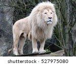 Stock photo white lion 527975080