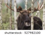 Small photo of Mammal - bull moose winter (Alces)