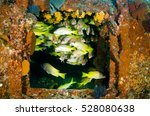 Small photo of Yellow snapper (Lutjanus argentiventris), forming a school in a shipwreck, reefs of Sea of Cortez, Pacific ocean. Cabo Pulmo, Baja California Sur, Mexico. The world's aquarium.
