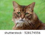 somali cat | Shutterstock . vector #528174556
