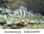 freshwater fish perch  perca... | Shutterstock . vector #528223459
