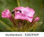 Garden Ant Enjoys Flower Of...
