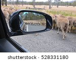 View Of Sheep On Road  In Side...