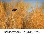 Red Winged Blackbird  Agelaius...