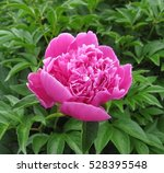 Graceful Pink Peony On Green...