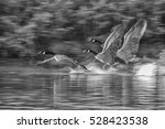 Three Geese Take Off B W...