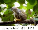 Central America Squirrel Monkey