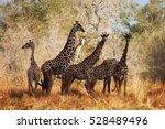 maasai giraffes  selous...   Shutterstock . vector #528489496