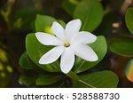 Small photo of Tahitian Gardenia Tiare close up