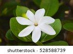 Tahitian Gardenia Tiare Tahiti...