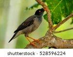Small photo of Jungle myna (Acridotheres fuscus) sitting on a tree on Taveuni Island, Fiji