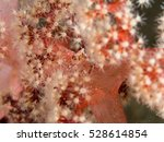 Pretty Crab Hiding In Soft Coral