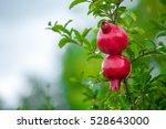 Two Pomegranate Fruit Growing...