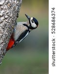 Small photo of Adult male of Great spotted woodpecker. Dendrocopos major