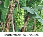 Banana Tree In Fields