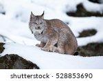 canada lynx in winter   Shutterstock . vector #528853690